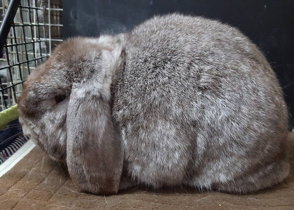 Chocolate chinchilla rabbit